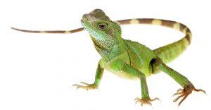 Lizard-1000x520