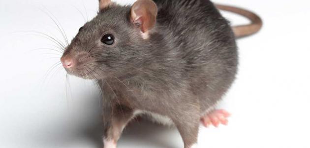 أسهل طريقة للتخلص من الفئران