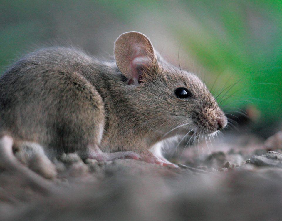 طرق طبيعية لطرد الفئران من المنزل